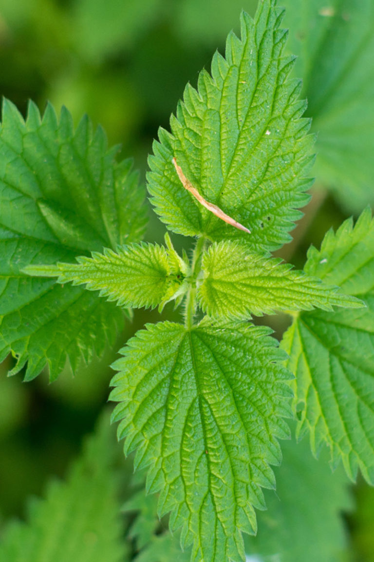 Nettle for Allergy Relief